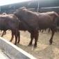 养殖销售 利木赞牛犊 改良利木赞牛 小肉牛