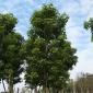 福建养护黄花槐移植袋苗方法假植苗容器苗乔木批发供应