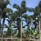二枝棕产地直销 狐尾椰子报价  园林绿化狐尾椰子树栽培基地