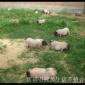 河北吃草的散养巴马香猪年猪一斤