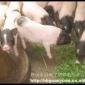 河北香猪养殖场供应新乐巴马小香猪