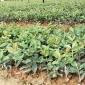 一年生裸根油茶苗 造林用油茶苗 油茶基地