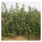 花光板栗苗种植方法大量供应品种齐全包成活